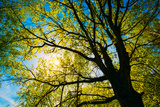 Spring Sun Shining through Canopy of Tall Oak Trees. Photographic Print by Grisha Bruev