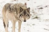 A Lone Grey Wolf in a Winter Setting Fotografisk trykk av Josef Pittner