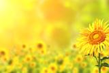 Bright Yellow Sunflowers and Sun Fotografie-Druck von  frenta