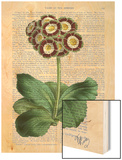 Primula Auricula Red Wood Print by  Fab Funky