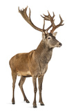 Red Deer Stag in Front of a White Background Photographic Print by Life on White