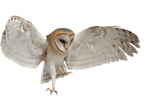 Barn Owl, Tyto Alba, 4 Months Old, Flying against White Background Photographic Print by Life on White