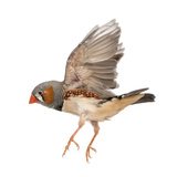 Zebra Finch Flying, Taeniopygia Guttata, against White Background Photographic Print by Life on White