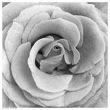 Rose Swirl II Posters