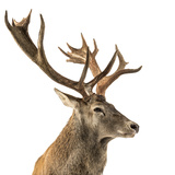 Close-Up of a Red Deer Stag in Front of a White Background Photographic Print by Life on White