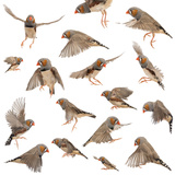 Composition of Zebra Finch Flying, Taeniopygia Guttata, against White Background Photographic Print by Life on White