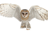 Barn Owl, Tyto Alba, 4 Months Old, Portrait Flying against White Background Photographic Print by Life on White