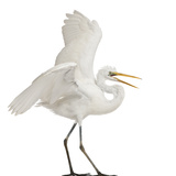 Great Egret or Great White Egret or Common Egret, Ardea Alba, Standing in Front of White Background Papier Photo par Life on White