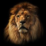 Lion Portrait on Black Background. Big Adult Lion with Rich Mane. Fotografisk tryk af Michal Bednarek