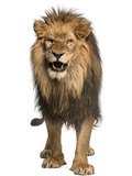 Front View of a Lion Roaring  Standing  Panthera Leo  10 Years Old  Isolated on White