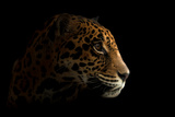 Jaguar ( Panthera Onca ) in the Dark Photographic Print by Anan Kaewkhammul