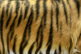 Texture of Real Tiger Skin Photographic Print by  byrdyak