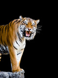 Bengal Tiger Photographic Print by  Lipik