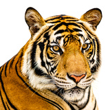 The Tiger Reprodukcja zdjęcia autor YongyutP