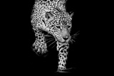 Close up Black and White Jaguar Portrait Photographic Print by  Art9858