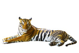 Isolated White Background of Indochinese Tiger Face Lying with Relax Face Photographic Print by  khunaspix