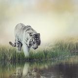 White Tiger near A Pond Photographic Print by  abracadabra99