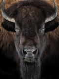 American Bison II Photographic Print by  abzerit