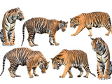Bengal Tiger Isolated Collection Photographic Print by Anan Kaewkhammul