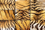 Collection of Tiger Fur Closeups Photographic Print by  taviphoto