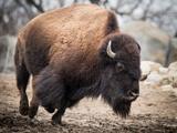 American Bison Fotografisk tryk af  abzerit