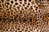 Real Leopard Skin. Photographic Print by William Scott