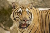 Adult Indochinese Tiger. Photographic Print by Dmitry Chulov