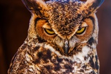 Great Horned Own Photographic Print by  duallogic