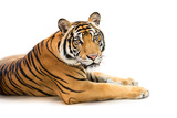 Siberian Tiger Isolated Photographic Print by  fotoslaz