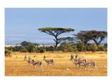 Gazelles Amboseli Kenya Africa Posters
