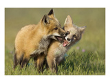 Fox Kits At Play Prints