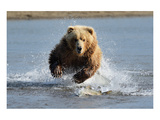 Grizzly Bear Jumping at Fish Poster