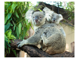Koala Mom and Baby on a Branch Poster