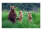 Grizly Bears at Katmai Alaska Print