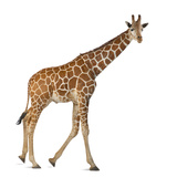 Somali Giraffe, Commonly known as Reticulated Giraffe, Giraffa Camelopardalis Reticulata, 2 and a H Photographic Print by Life on White