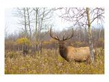 Large Bull Elk in a Weed Field Prints