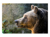 Marsican Brown Bear Profile Prints