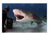 Large Lemon Shark Attacking Prints