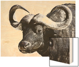 Cape Buffalo, Masai Mara National Reserve, Kenya, East Africa Wood Print by James Hager