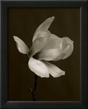 White Magnolia Flower Posters by Charlie Hopkinson