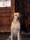Yellow Labrador Retriever Sitting in Front of a Door Metal Print by Adriano Bacchella