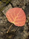 Red Aspen Leaf with Water Drops, Near Telluride, Colorado, United States of America, North America Metal Print by James Hager