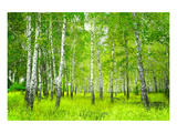 Summer Birchwood Forest Poster