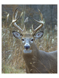 Whitetail Deer Buck Closeup Posters