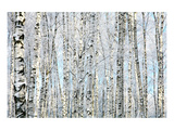 Winter Trunks of Birch Trees Prints