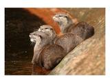 Oriental Short-Clawed Otters Giclee-tryk i høj kvalitet