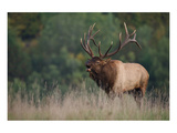 Trophy Bull Elk Pennsylvania Prints