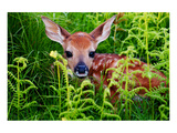 Newborn Whitetail Fawn Resting Poster
