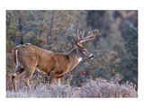 Whitetail Buck Deer Stag Posters