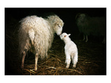 Sheep With Lamb in a Barn Posters